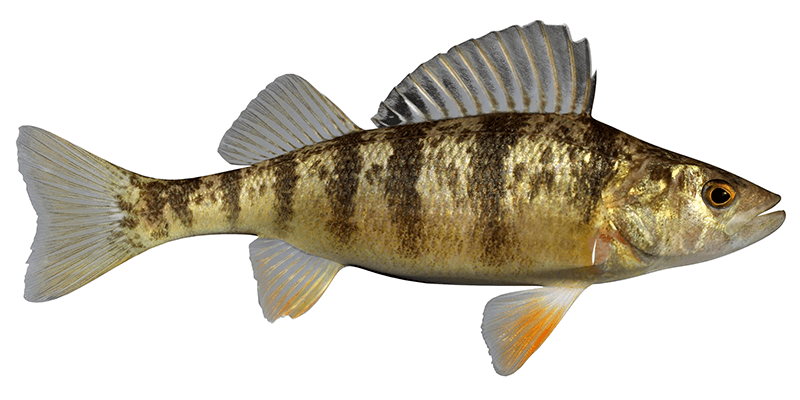 photo of a yellow perch isolated from background